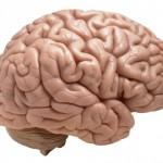 brain-image-picture-clipart